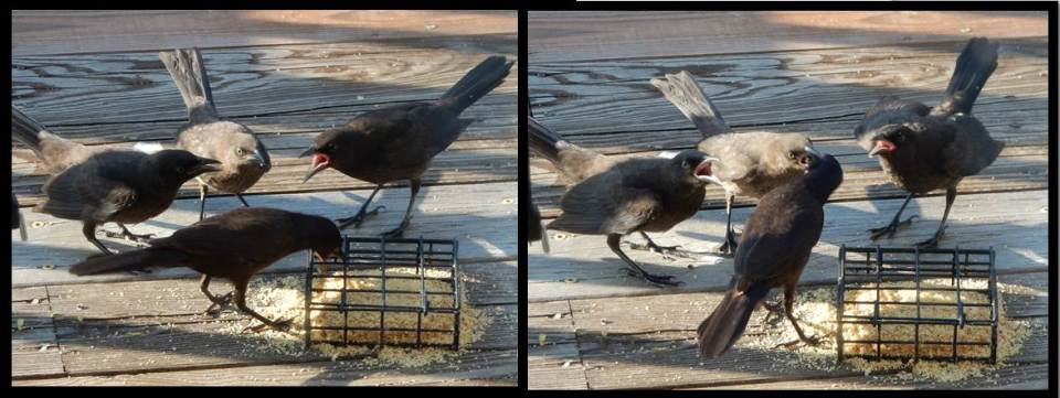 Adult Common Grackle Feeding Three Juveniles Fledglings