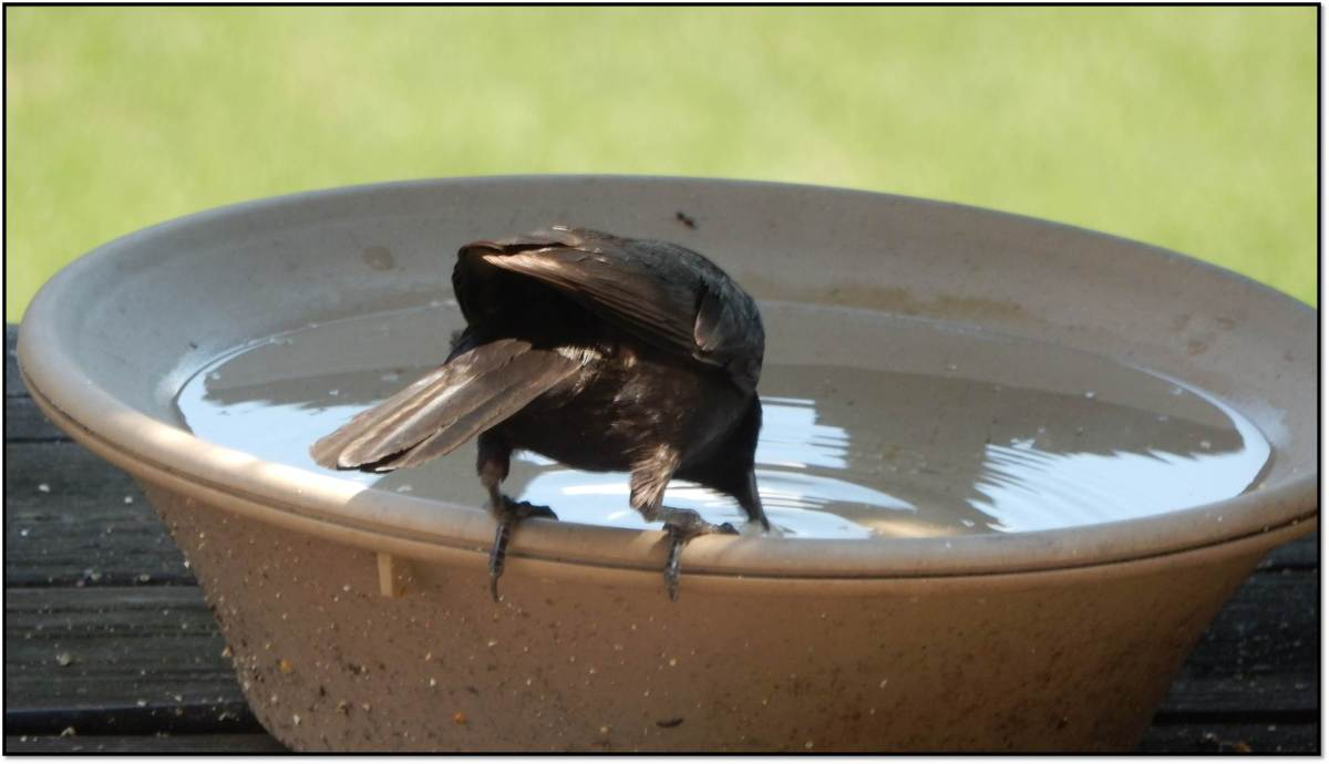 Adult Grackle Dunking Suet in Water