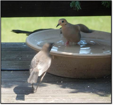 Juvenile Grackle Harassing Adult Mourning Dove