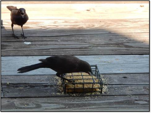 Grackle Catches Sibling Eating Suet