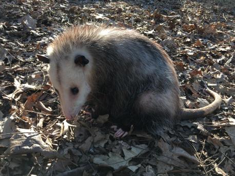 Ciega Blind Opossum