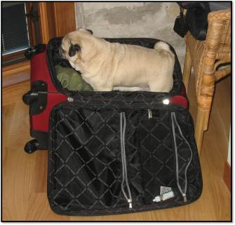Peanut pug in suitcase