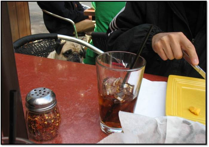 Peanut pug stares at cheese from a chair