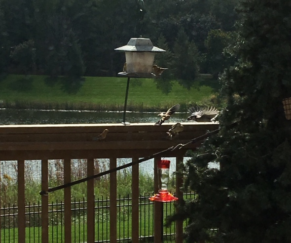 6 Goldfinch and a blue jay